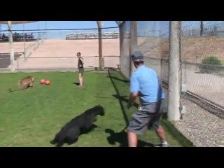 Большая черная кошка играет с человеком